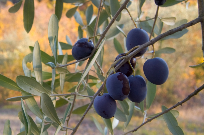 Olive_fruit_on_the_branch_(2007).jpg